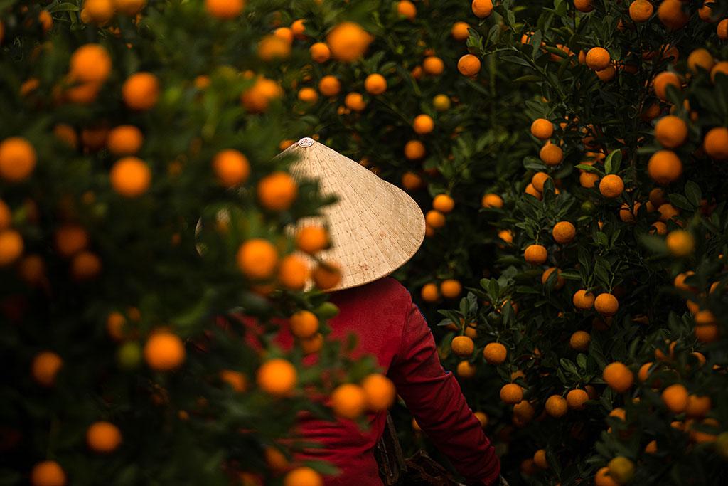 Kumquat by Rehahn photography in Hoi An - Vietnam