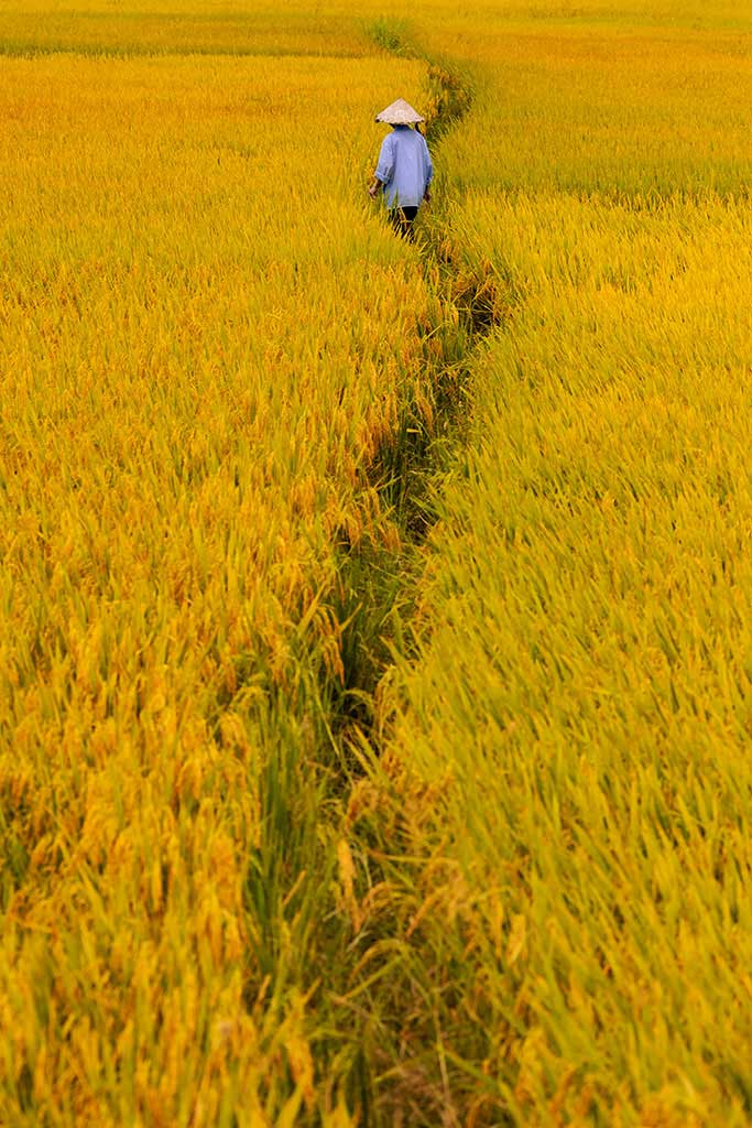 life-trace yellow rice field in Hoi An