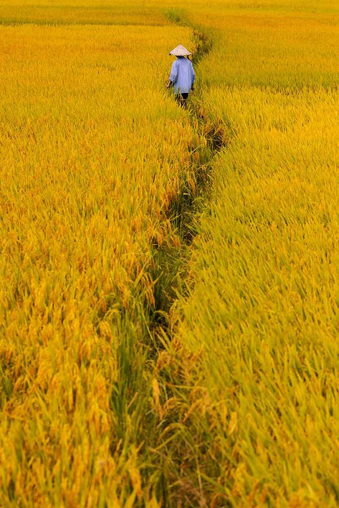 Champ de riz jaune de la vie à Hoi An